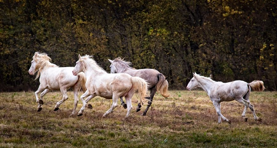 Wild Horses of Missouri